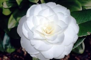 Kamelya Çiçeği İçeren Parfümler