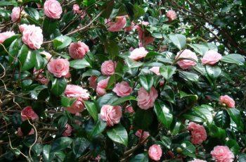 Kamelya Çiçeği