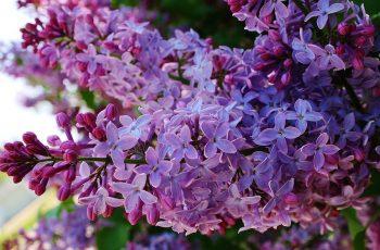 Leylak Çiçeği İçeren Parfümler