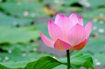 Lotus Çiçeği Kokulu Parfümler