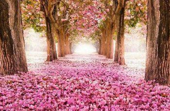 Kiraz Çiçeği Kokulu Parfüm